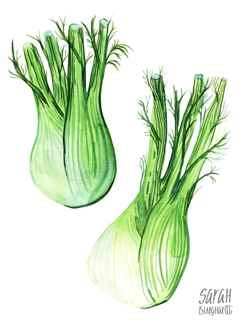 Fennel Fenchel Food Illustration